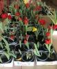 Tulpen für Brot 2020